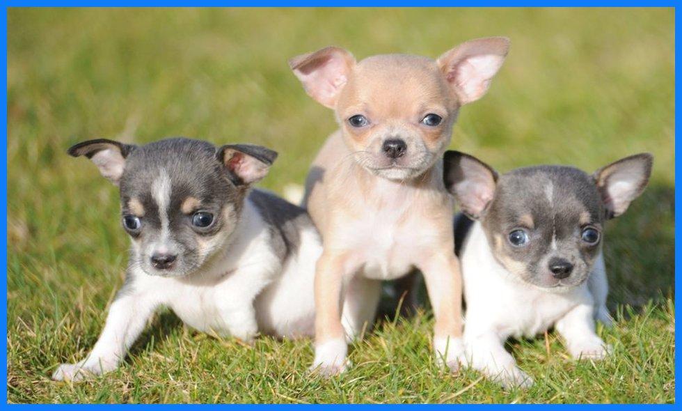 Chihuahua welpen zu verkaufen bei hezehof in belgien